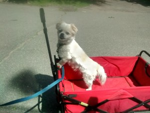 Louie in wagon